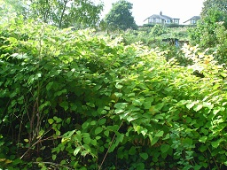 Image of Japanese Knotweed