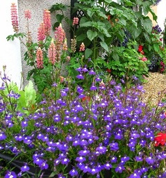 Picture of colourful flowers in a Newport in Bloom garden
